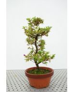 Bonsai Rhododendron terracotta pot 19cm, height ~ 48cm