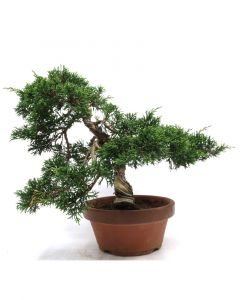 Juniperus chinensis terracotta pot 15cm
