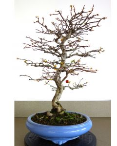 Bonsai Crataegus cuneata licht blauwe pot 28cm