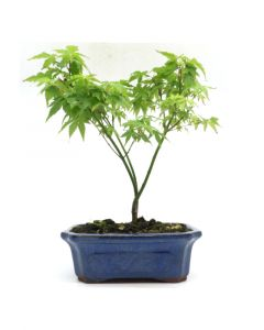 Bonsai Acer palmatum 'Little Princess' 20cm