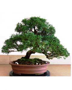 Bonsai Juniperus chinensis ongeglazuurd pot 32cm