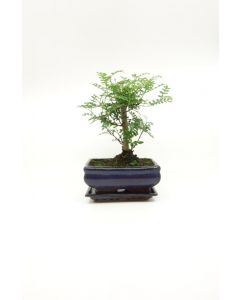 Bonsai Zanthoxylum piperitium broom 15cm
