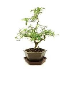 Bonsai Zanthoxylum piperitium