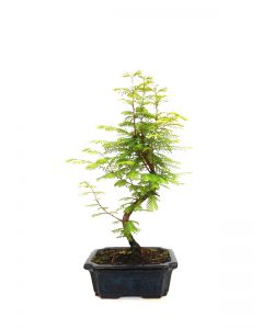 Bonsai Metasequoia