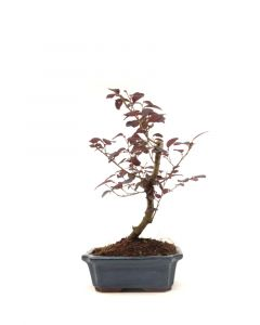 Bonsai Loropetalum rubra 15cm