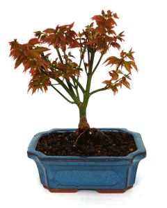 Bonsai Acer palmatum 'little princess'