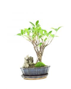 Bonsai Ficus met steen