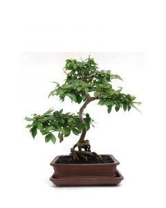 Bonsai Durantha