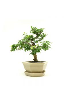 Bonsai Ligustrum sinensis 'Aura'