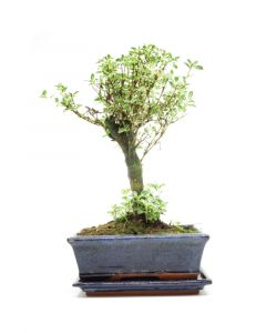 Bonsai  'Variegated Serissa'