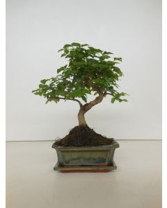 Bonsai Ligustrum sinensis